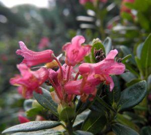 Bild: Rostblaettrige Alpenrose Bluete rot Rhododendron ferrugineum