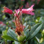 Rostblaettrige Alpenrose Bluete rot Rhododendron ferrugineum 03
