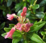 Rostblaettrige Alpenrose Bluete rot Rhododendron ferrugineum 04