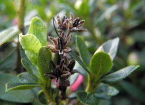 Rostblaettrige Alpenrose Bluete rot Rhododendron ferrugineum 05
