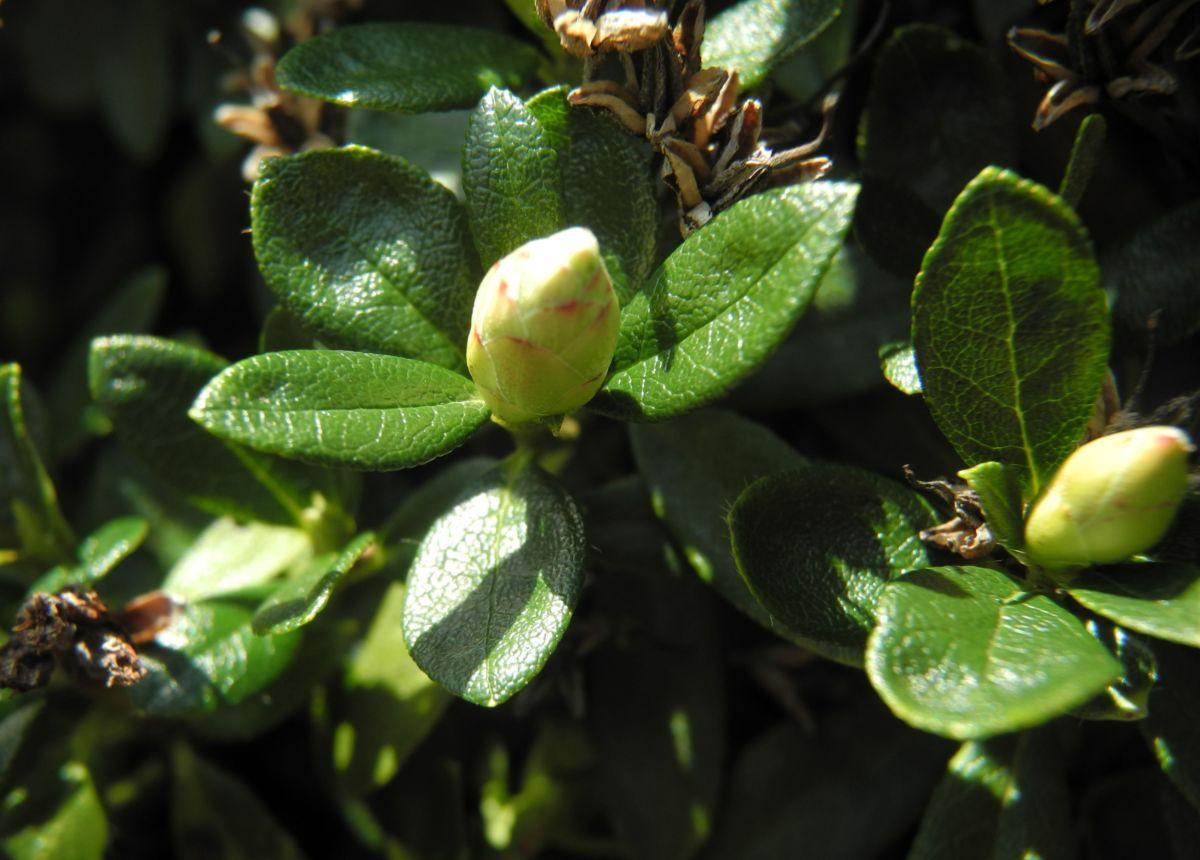 Rostblaettrige Alpenrose Bluete rot Rhododendron ferrugineum