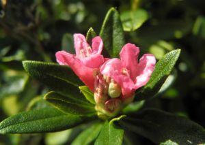 Rostblaettrige Alpenrose Bluete rot Rhododendron ferrugineum 07