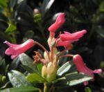 Bild:  Rostblättrige Alpenrose Blüte rot Rhododendron ferrugineum
