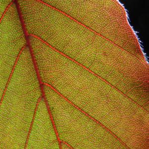 Rot Buche Baum Blatt rot Fagus sylvatica 08
