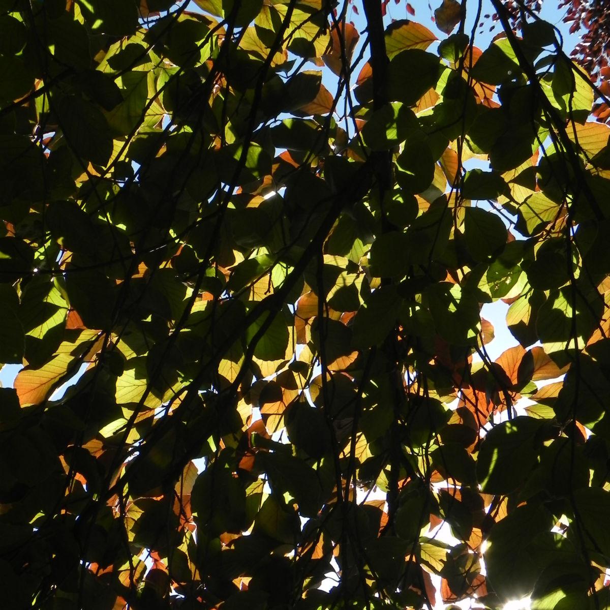 Rot Buche Baum Blatt rot Fagus sylvatica