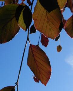 Rot Buche Baum Blatt rot Fagus sylvatica 11