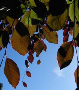 Rot Buche Baum Blatt rot Fagus sylvatica 12