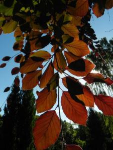 Rot Buche Baum Blatt rot Fagus sylvatica 16