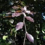 Rot Buche Baum Blatt rot Fagus sylvatica 17
