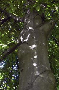 Rot Buche Baum Rinde grau Fagus sylvatica 01