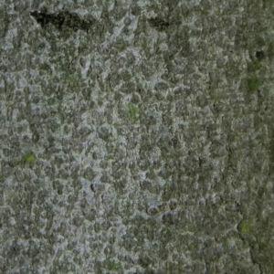Rot Buche Baum Rinde grau Fagus sylvatica 03