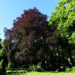 Rot Buche Baum Fagus sylvatica 01