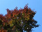 Bild:  Rot-Buche Baum Blatt rot Fagus sylvatica