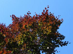 Rot-Buche Baum Blatt rot Fagus sylvatica