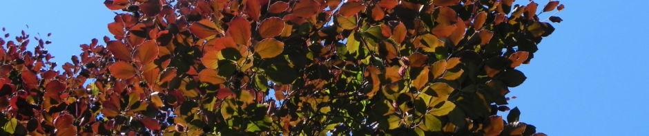 Anklicken um das ganze Bild zu sehen  Rot-Buche Baum Blatt rot Fagus sylvatica
