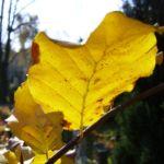 Rot Buche Herbstlaub Fagus sylvatica 03