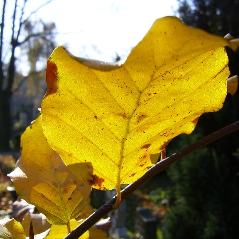 Rot Buche Herbstlaub Fagus sylvatica