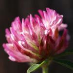 Rot Klee Bluete pink Trifolium pratense 02