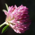 Rot Klee Bluete pink Trifolium pratense 03