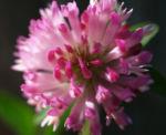 Rot Klee Bluete pink Trifolium pratense 04