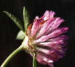 Rot Klee Bluete pink Trifolium pratense 05