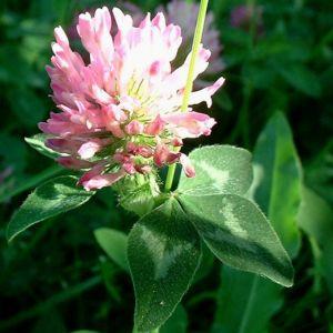Rot Klee Trifolium pratense 02