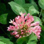 Bild: Rot-Klee Blüte rot Trifolium pratense