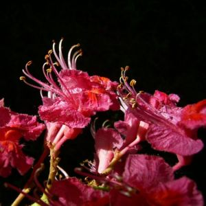 Rotbluehende Rosskastanie Bluete Aesculus x carnea 02