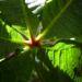 Zurück zum kompletten Bilderset Rotblühende Rosskastanie Blüte rot Aesculus x carnea