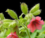 Bild:  Rotblütiges Lungenkraut Blüte rot Pulmonaria rubra