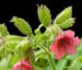 Zurück zum kompletten Bilderset Rotblütiges Lungenkraut Blüte rot Pulmonaria rubra