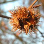 Rotbuche Baum Bucheckern Rinde Blatt Fagus sylvatica 05