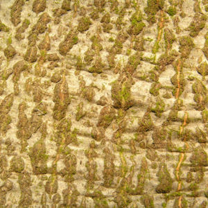 Image: Rotbuche Baum Bucheckern Rinde Blatt Fagus sylvatica