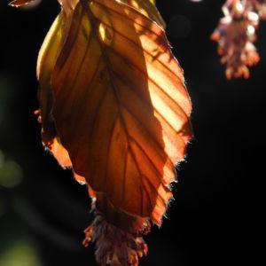 Rotbuche Blatt rot braun Bluete Fagus sylvatica 01