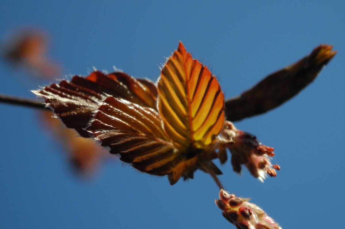 Rotbuche Blatt rot braun Bluete Fagus sylvatica