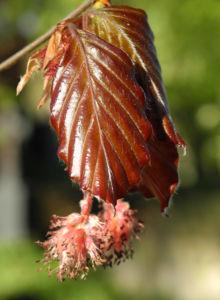 Rotbuche Blatt rot braun Bluete Fagus sylvatica 12