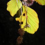 Rotbuche Blatt rot gruen Fagus sylvatica 08