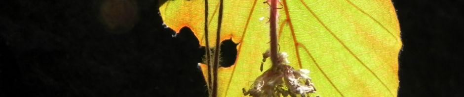 rotbuche-blatt-rot-gruen-fagus-sylvatica