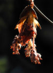 Rotbuche Bluete rot braun Fagus sylvatica 01