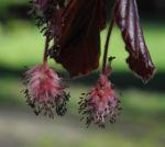 Rotbuche Bluete rot braun Fagus sylvatica 06