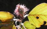 Rotbuche Bluete rot Fagus sylvatica 15