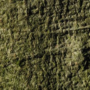 Rotbuche Blatt rot braun Blüte Fagus sylvatica