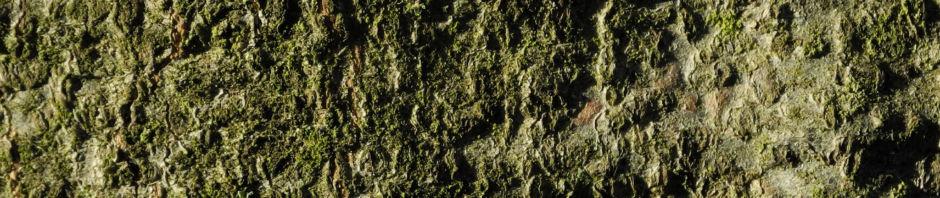 rotbuche-blatt-rot-braun-bluete-fagus-sylvatica