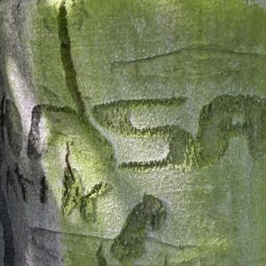 Rotbuche Rinde grau Fagus sylvatica 16