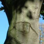Bild: Rotbuche Fagus sylvatica