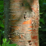 Bild: Rote China-Birke Rinde rötlich Betula albosinensis