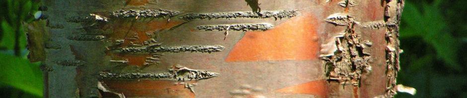 Anklicken um das ganze Bild zu sehen Rote China-Birke Rinde rötlich Betula albosinensis