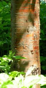 Bild: Rote China Birke Rinde roetlich Betula albosinensis