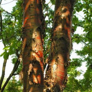 Rote China Birke Rinde roetlich Betula albosinensis 05