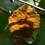 Rote Haselnuss Zellernuss Frucht Blatt Corylus maxima 02